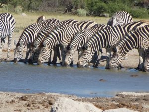 Several zebras drinking water from a creek with bushes as background