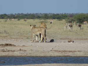 Two lions standing on the dirt with gazelles and foliage as a background