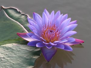 Beautiful purple flower and green leaves floating on the water
