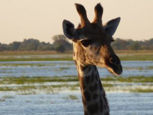Giraffe head with grassland and water as background