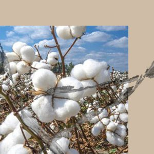 Picture of a cotton field under a cloudy blue sky