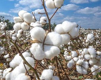 Up close view of a cotton field under a cloudy blue sky